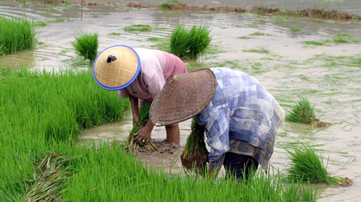 Ricefields in Sulawesi