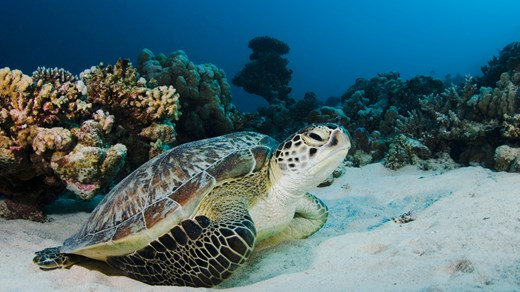 You might meet a turtle on one of your dives in the Gili Islands