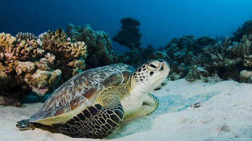 Turtle at the Gili Islands