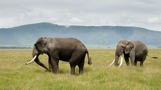 Elephants on the savannah in Tanzania.