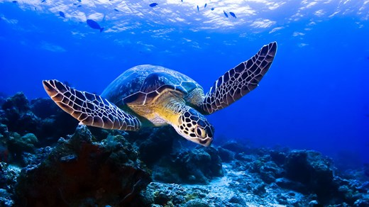 Dive deep with turtles near Sipadan island