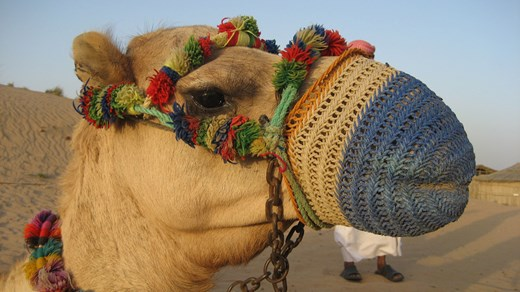 A gagged camel in the United Arab Emirates.