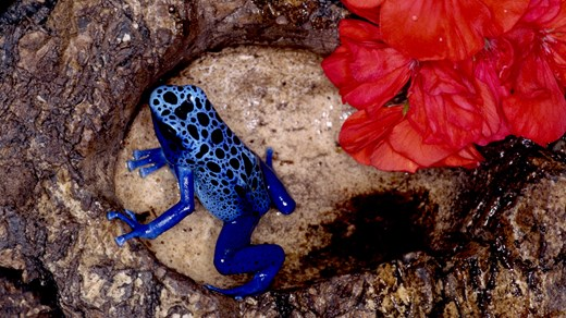 A poisonous blue frog in Suriname