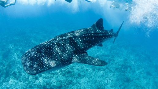 Whaleshark in Mozambique