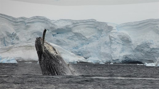 Watch the whales play in the oceans around Antarctica