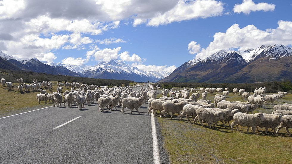 On your working holiday in New Zealand you will encounter sheep Go ...